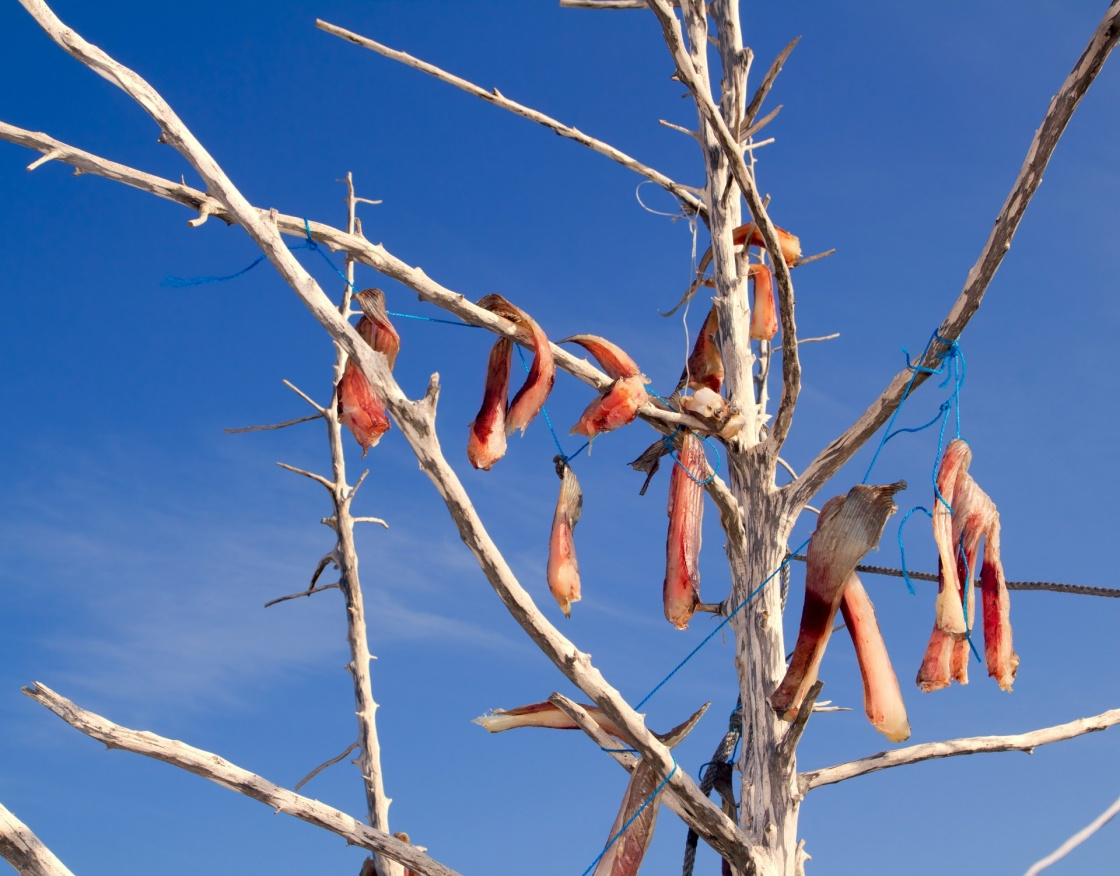 air-dried salted fish Mediterranean style on tree branches in Balearic